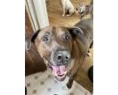Adopt Bruno a Labrador Retriever