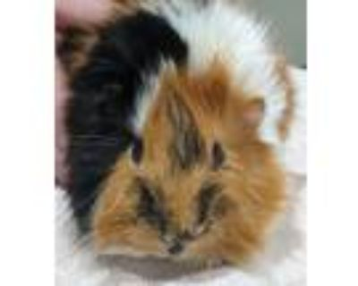 Adopt Minie Me a Guinea Pig small animal in Stratham, NH (32023730)