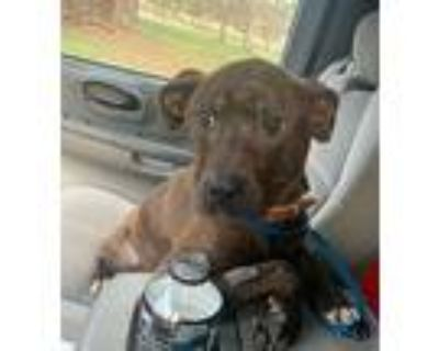 Samson, American Pit Bull Terrier For Adoption In Hagerstown, Maryland
