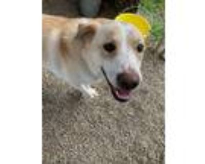 Adopt Kelsey a Red/Golden/Orange/Chestnut - with White Great Pyrenees / Labrador