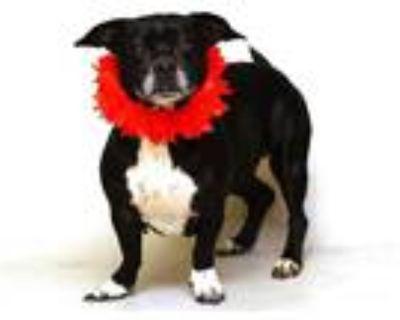 Adopt SHADOW a Black - with White Basset Hound / Labrador Retriever / Mixed dog