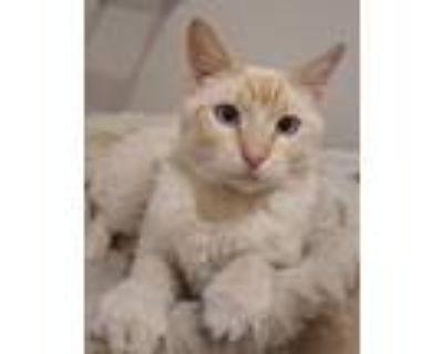 Adopt John a Siamese cat in Denver, CO (31965238)
