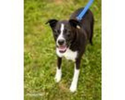 Adopt Oscar a Black - with White Boston Terrier / Mixed dog in Northville
