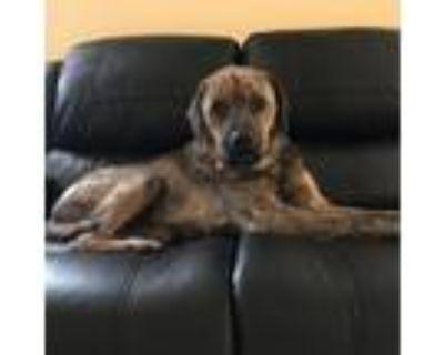 Adopt Mindy a Plott Hound, Labrador Retriever