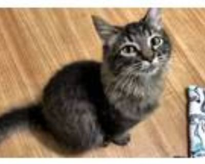 Adopt Magnes a Gray or Blue (Mostly) Maine Coon (medium coat) cat in
