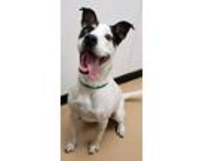 Adopt Henry a Pit Bull Terrier, Mixed Breed