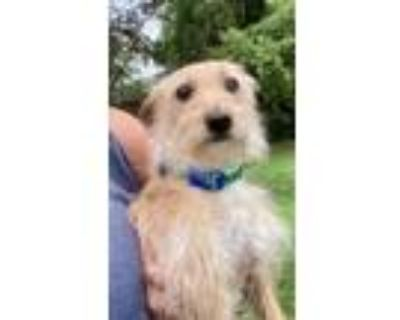 Adopt Big Thunder Mountain a Terrier (Unknown Type, Medium) / Mixed dog in
