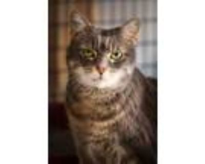 Adopt Katie a Gray or Blue Domestic Shorthair / Domestic Shorthair / Mixed cat