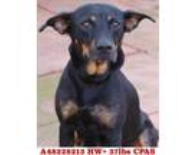 Adopt WooWoo a Black Manchester Terrier / Mixed dog in Shreveport, LA (32143313)