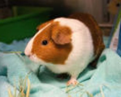 Adopt a Red Guinea Pig / Mixed small animal in Pasadena, CA (31628108)