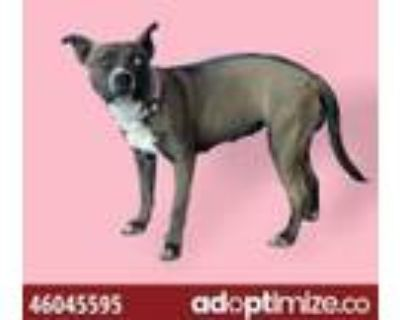 Adopt 46045595 a Pit Bull Terrier, Mixed Breed