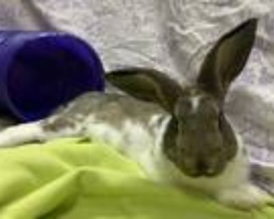 Adopt Zeus a Chocolate Other/Unknown / Mixed (short coat) rabbit in Woburn