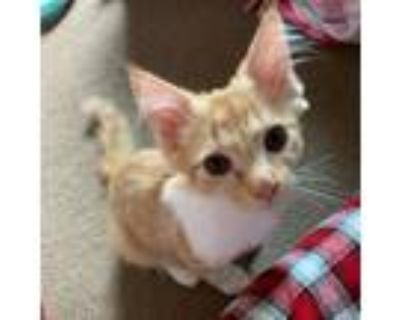 Adopt Itty a Orange or Red Domestic Mediumhair / Mixed cat in Tecumseh