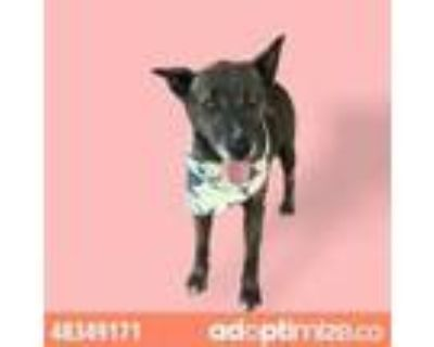 Adopt 48349171 a Black Blue Heeler / Mixed dog in El Paso, TX (32128487)