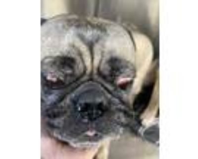 Adopt 617 fwaccCharlie a Tan/Yellow/Fawn Pug / Mixed dog in Fort Worth