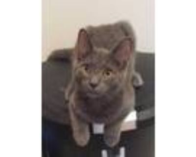 Adopt Summit a Gray or Blue Domestic Shorthair / Domestic Shorthair / Mixed cat