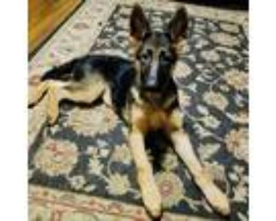 Adopt Pepper a Black - with Tan, Yellow or Fawn German Shepherd Dog / Mixed dog