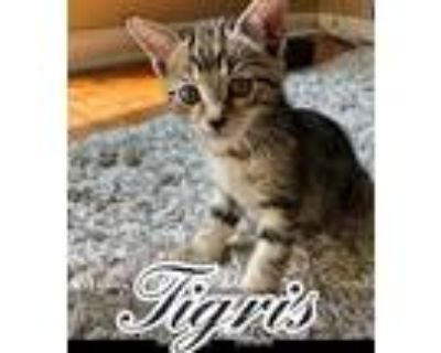Tigris, Domestic Shorthair For Adoption In Barrington, New Jersey
