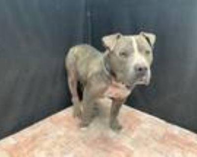 Adopt KEN a Pit Bull Terrier
