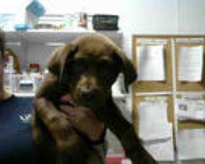 Adopt ROY a Brown/Chocolate Labrador Retriever / Mixed dog in Atlanta