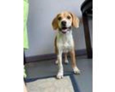 Adopt RAYBAN a Beagle