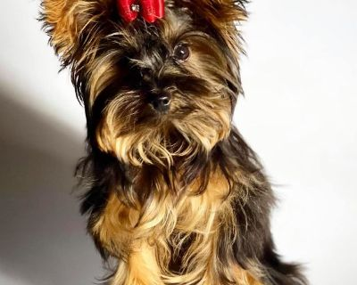FCI AKC Tiny 3 lb Yorkie Male 6 Months old Full Grown