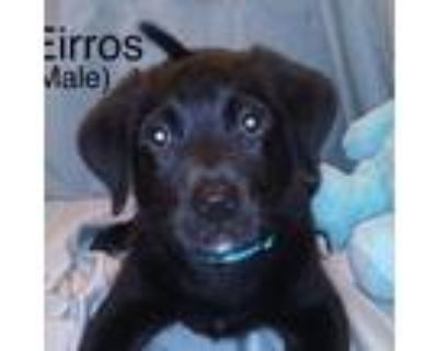 Adopt Eirros a Black Great Dane / Mixed dog in El Dorado, KS (31880551)