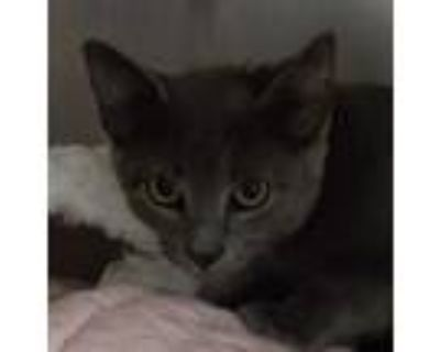 Adopt Jaden a Gray or Blue Domestic Shorthair / Domestic Shorthair / Mixed cat