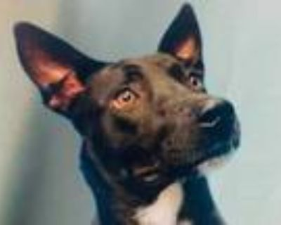 Adopt Boy a Black Shepherd (Unknown Type) / American Pit Bull Terrier / Mixed
