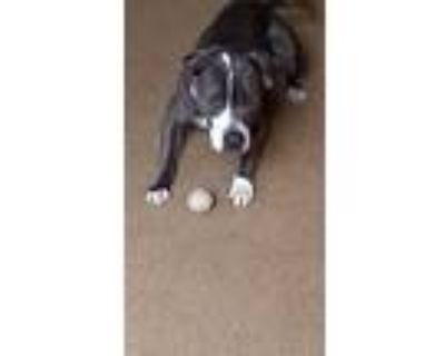 Gabby, American Pit Bull Terrier For Adoption In Colorado Springs, Colorado