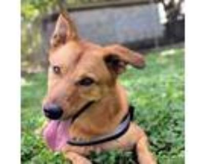 Adopt Kylo a German Shepherd Dog, Golden Retriever