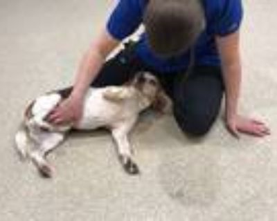 Adopt Remi Kelley a Tricolor (Tan/Brown & Black & White) Beagle / Mixed dog in