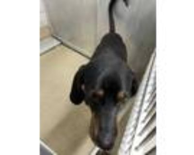 Adopt Chase a Black Hound (Unknown Type) / Mixed dog in Fort Worth