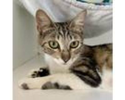 Adopt Harlow a Brown Tabby Domestic Shorthair / Mixed cat in Oakland