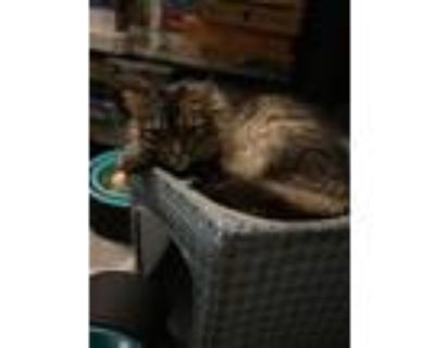 Adopt Michael a Brown or Chocolate (Mostly) Maine Coon / Mixed (long coat) cat