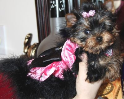 World GrandChampions pedigree Yorkshire Terrier Puppies
