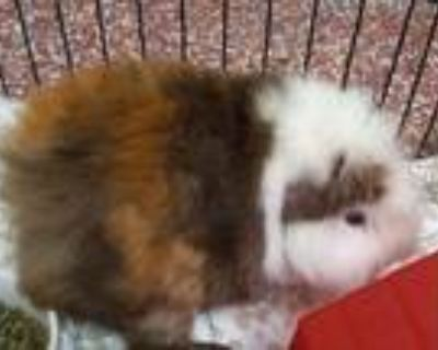 Adopt Gene a Guinea Pig small animal in Stratham, NH (32022386)