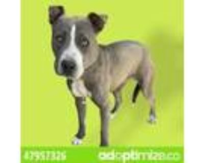 Adopt 47957326 a Brown/Chocolate Pit Bull Terrier / Mixed dog in El Paso