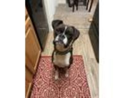 Adopt Bodhi a Brindle - with White Boxer / Mixed dog in Greenwood, IN (31513229)