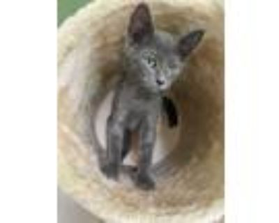 Adopt Giselle a Domestic Short Hair