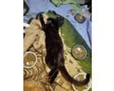 Adopt Elijah a All Black Domestic Shorthair / Mixed cat in Modesto