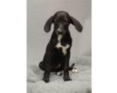 Adopt A429447 a Labrador Retriever, Hound
