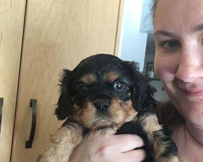 Cavalier King Charles Spaniel Puppy ( Pick Of Litter)