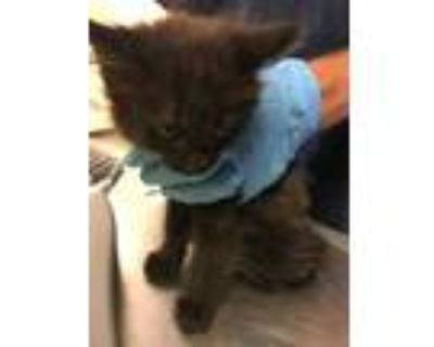Adopt 48032895 a All Black Domestic Longhair / Domestic Shorthair / Mixed cat in
