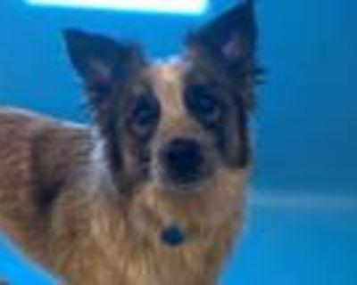 Adopt Bongo a Cattle Dog, Mixed Breed