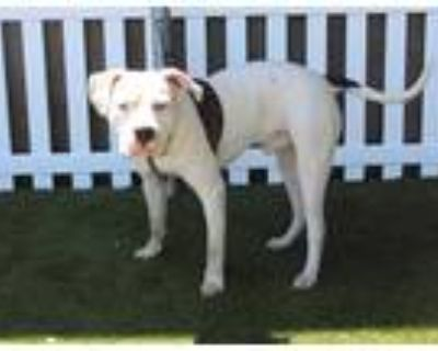 Adopt *MASON a White American Pit Bull Terrier / Mixed dog in Modesto