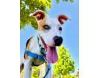 Adopt Dudley a Cattle Dog, Terrier
