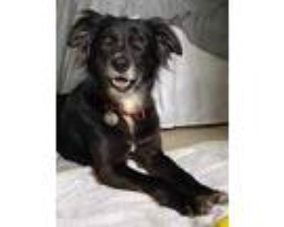 Adopt Miss Piper a Black Border Collie / Greyhound / Mixed dog in Chester