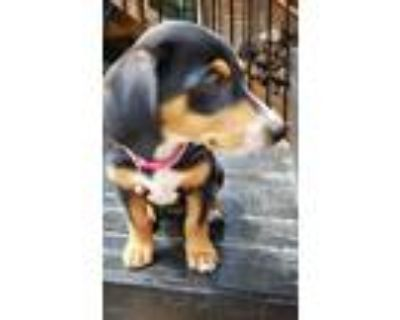 Adopt Holly a Tricolor (Tan/Brown & Black & White) Dachshund / Terrier (Unknown