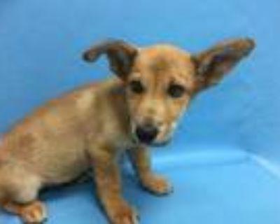 Adopt Blue Aiden a Tan/Yellow/Fawn Corgi / Mixed dog in Woodbury, MN (32056269)